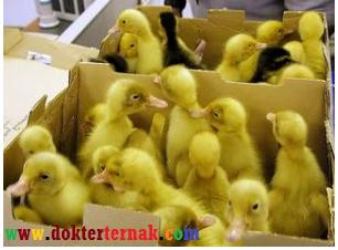 pemelihraan itik secara intensif cepat besar telur banyak