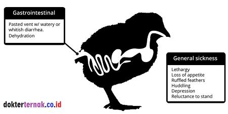 Ayam Gumboro